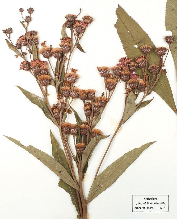 Vernonia missurica Vernonia missurica Missouri ironweed Go Botany