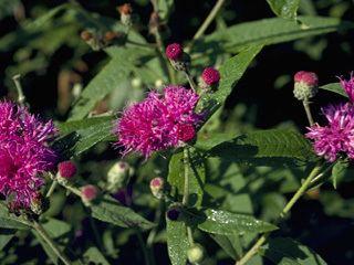 Vernonia missurica Vernonia missurica Missouri ironweed NPIN