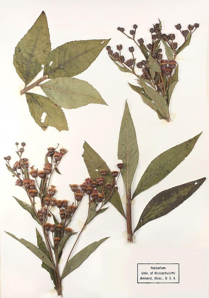 Vernonia missurica httpsnewfss3amazonawscomtaxonimages1000s1