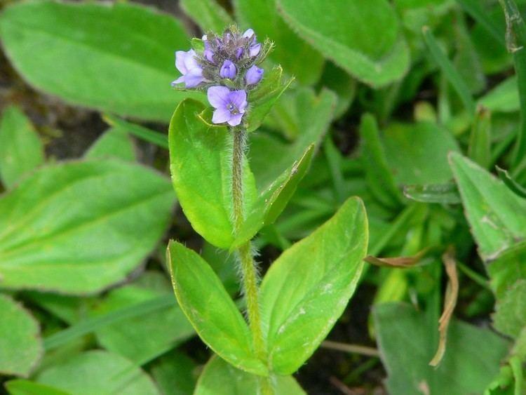 Veronica wormskjoldii Veronica wormskjoldii American alpine speedwell Go Botany