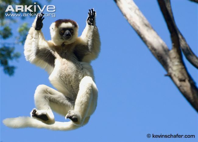 Verreaux's sifaka Verreaux39s sifaka videos photos and facts Propithecus verreauxi
