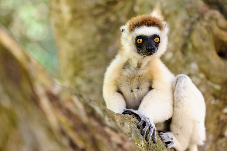 Verreaux's sifaka Verreaux39s sifaka in a tree Nahampoana Reserve Fort Dauphin
