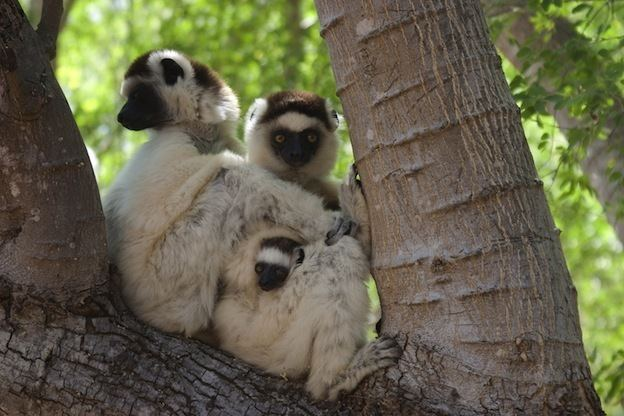 Verreaux's sifaka Verreaux39s Sifaka Lemur Facts and Information