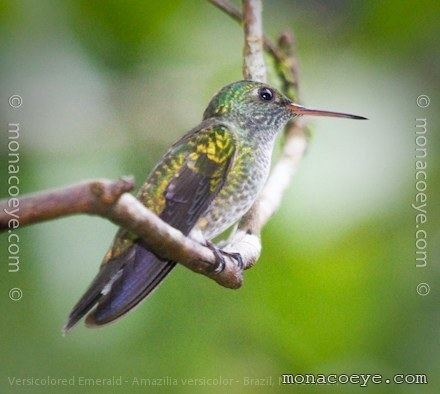 Versicoloured emerald Versicolored Emerald Trochilidae Hummingbirds Emeralds Brazil