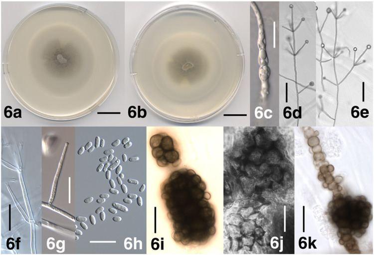 Verticillium dahliae VertiShild Database