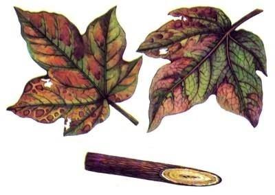 Verticillium dahliae AgroAtlas Diseases Verticillium dahliae var dahliae Kleb