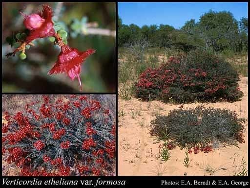 Verticordia etheliana httpsflorabasedpawwagovausciencetimage12