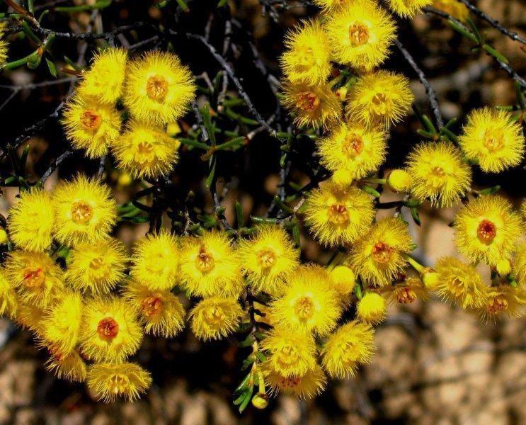 Verticordia Verticordia chrysantha Central Wheatbelt Visitor Centre