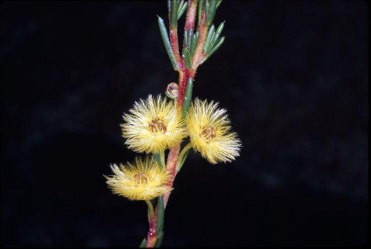 Verticordia grandiflora