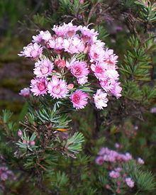 Verticordia plumosa httpsuploadwikimediaorgwikipediacommonsthu