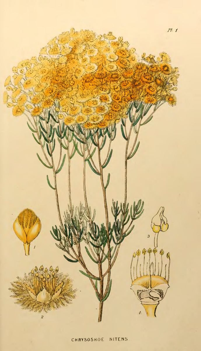 Verticordia sect. Chrysorhoe
