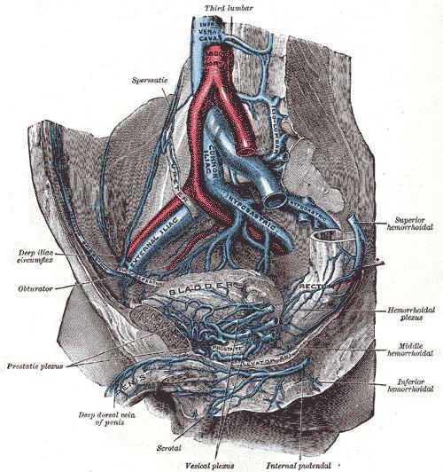 Vesical veins