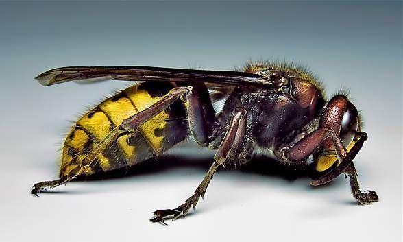 Bộ sưu tập côn trùng 2 - Page 16 Vespa-luctuosa-27ccd4da-4a16-4707-a7d8-50d17bf758c-resize-750