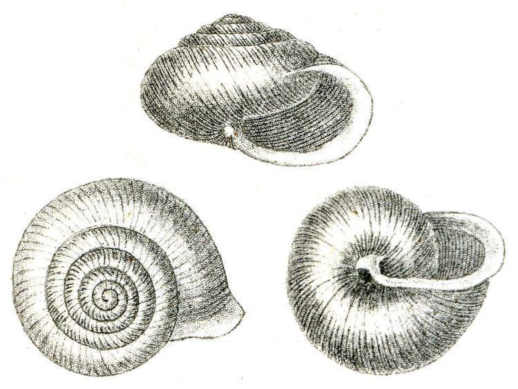 Vespericola columbiana