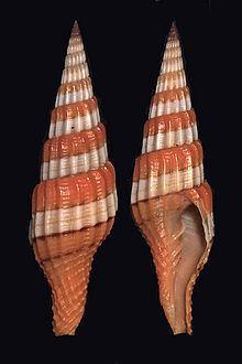 Vexillum citrinum httpsuploadwikimediaorgwikipediacommonsthu