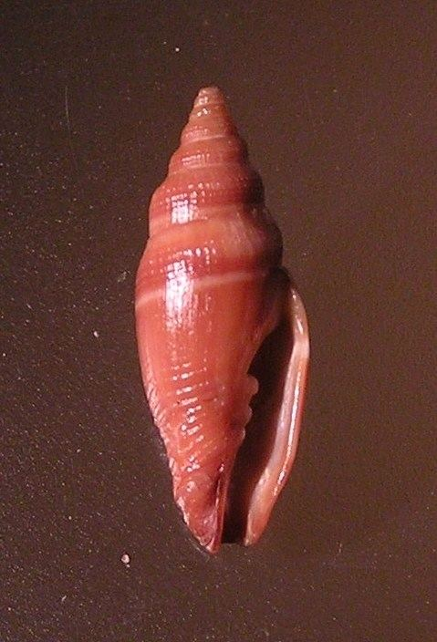 Vexillum funereum