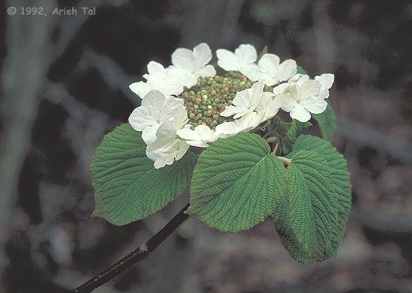 Viburnum lantanoides Viburnum lantanoides