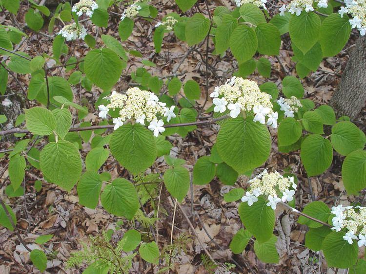 Viburnum lantanoides Viburnum lantanoides hobblebush Go Botany