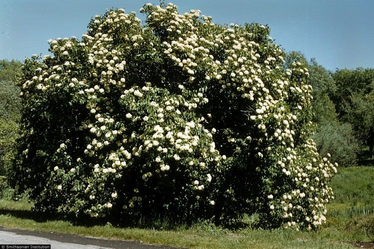 Viburnum lentago Plants Profile for Viburnum lentago nannyberry