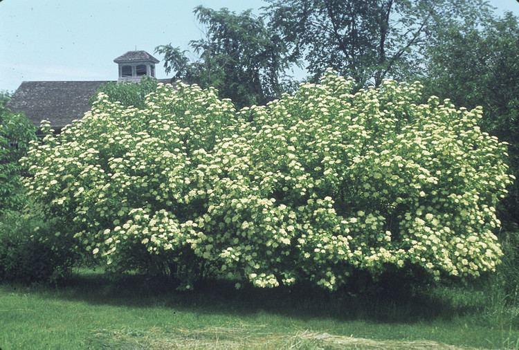 Viburnum lentago Viburnum lentago nannyberry Go Botany