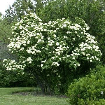 Viburnum lentago Viburnum Nannyberry Viburnum lentago KVL Landscaping