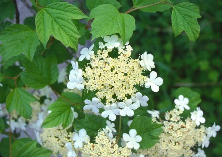 Viburnum opulus Viburnum opulus highbushcranberry Go Botany