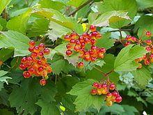 Viburnum opulus httpsuploadwikimediaorgwikipediacommonsthu