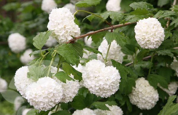 Viburnum opulus Buy snowball tree syn Sterile Viburnum opulus 39Roseum39 Delivery