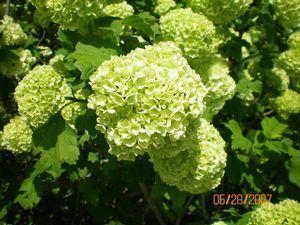 Viburnum opulus Viburnum opulus 39Roseum39 European Snowball Viburnum from Classic