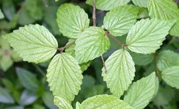 Viburnum rafinesqueanum Arrowwood Viburnum rafinesquianum