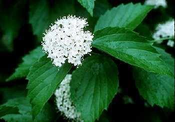 Viburnum rafinesqueanum Online Virtual Flora of Wisconsin Viburnum rafinesquianum