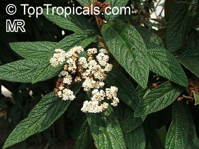 Viburnum rhytidophyllum Viburnum rhytidophyllum Leatherleaf Viburnum TopTropicalscom