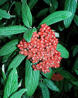 Viburnum rhytidophyllum dendrocnrevtedudendrologyimagesViburnum20rh