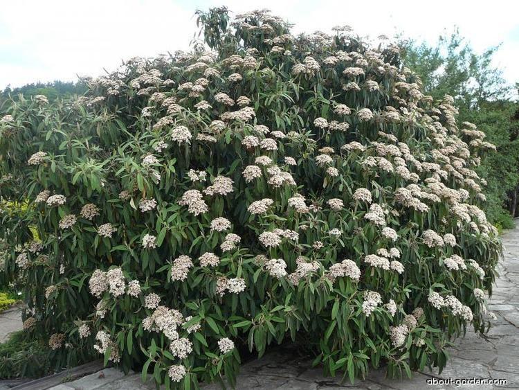 Viburnum rhytidophyllum Viburnum rhytidophyllum Leatherleaf Viburnumcom A Complete