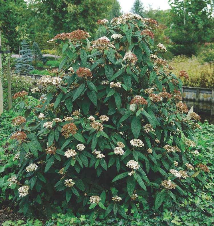 Viburnum rhytidophyllum VIBURNUM rhytidophyllum HEMSL Leatherleaf Pflanzen null
