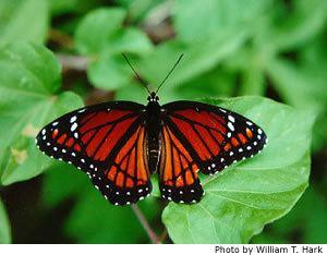 Viceroy (butterfly) wwwnhptvorgnatureworksgraphicsviceroy1smjpg