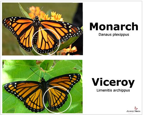 Viceroy (butterfly) Monarch or Viceroy