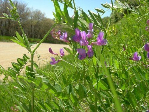 Vicia americana Vicia americana Raising ButterfliesHow to find and care for