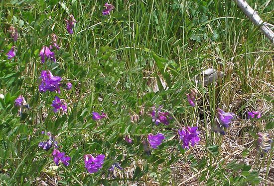Vicia americana Southwest Colorado Wildflowers Vicia Americana