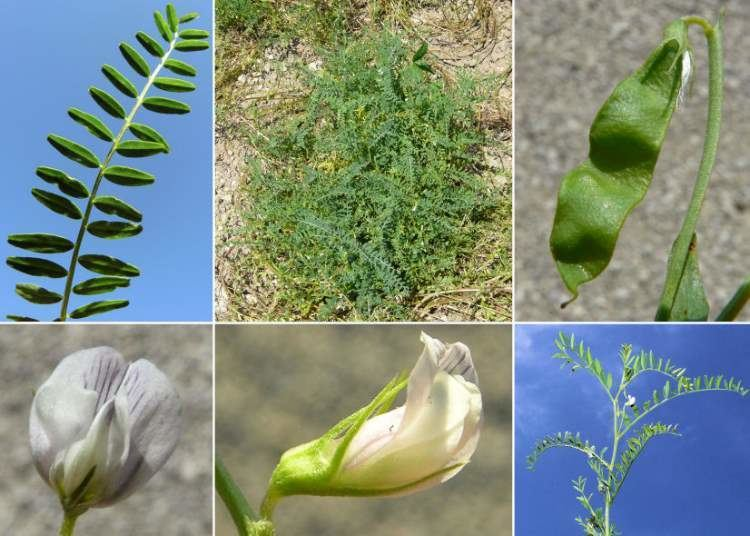 Vicia ervilia Scientific name Vicia ervilia ONLINE BOTANY