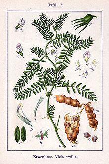 Vicia ervilia httpsuploadwikimediaorgwikipediacommonsthu