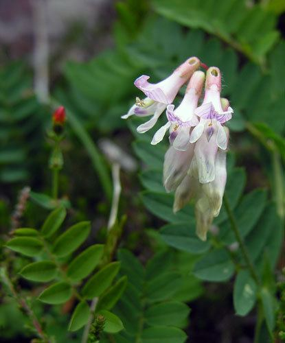 Vicia orobus Vicia orobus from Assynt