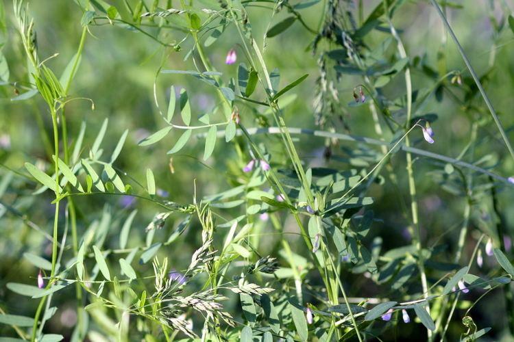 Vicia tetrasperma FileVicia tetraspermaJPG Wikimedia Commons