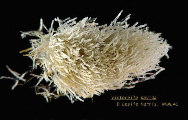 Victorella invasionssieduSpImagesvictorellapavida1jpg