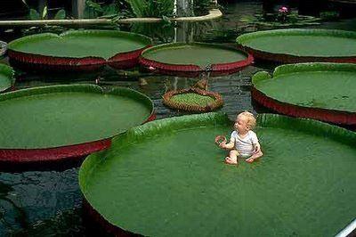 Victoria (plant) GiantWaterLilyVictoriaAmazonicawithbabyjpg