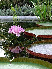 Victoria (plant) httpsuploadwikimediaorgwikipediacommonsthu