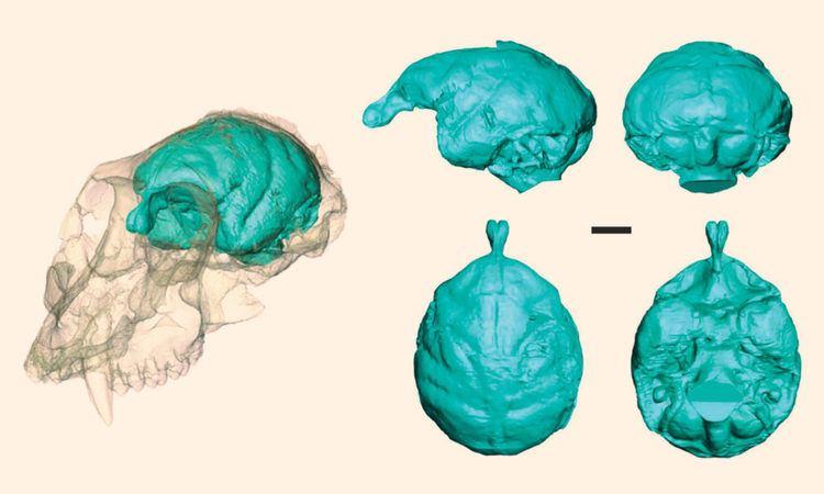 Victoriapithecus Victoriapithecus Paleontologists Visualize Brain of 15MYearOld