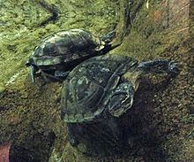 Vietnamese pond turtle httpsuploadwikimediaorgwikipediacommonsthu