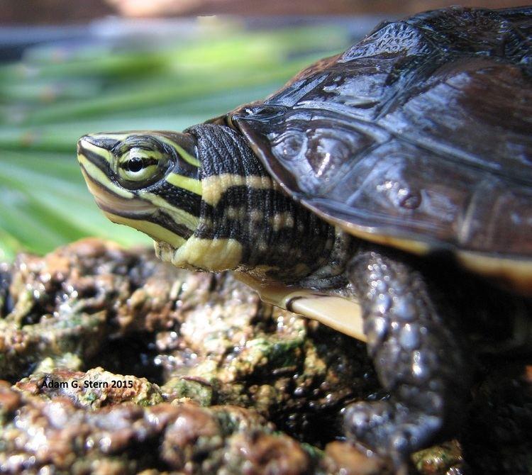 Vietnamese pond turtle FileVietnamese Pond Turtle Mauremys annamensis Adam G Sternjpg