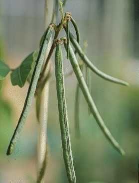Vigna umbellata NARO Genebank Illustrated Plant Genetic Resources Database Rice bean